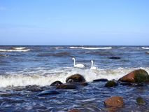 Beautiful swans floating on water, Lithuania Royalty Free Stock Photos