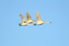 Beautiful swans flying Royalty Free Stock Photography