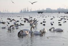 Beautiful swans, gulls and ducks in winter lake Royalty Free Stock Photo