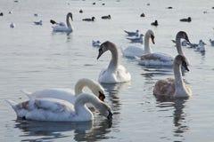 Beautiful swans, gulls and ducks in winter lake Stock Photos