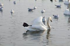 Beautiful swans, gulls and ducks in winter lake Stock Image