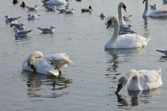 Beautiful swans, gulls and ducks in winter lake Stock Photography