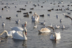 Beautiful swans, gulls and ducks in winter lake Royalty Free Stock Photography