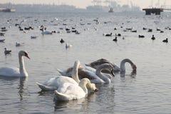 Beautiful swans, gulls and ducks in winter lake Stock Photo