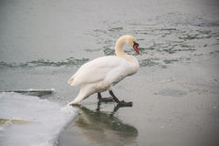 Free Beautiful Swans On The River. Royalty Free Stock Images - 90336319