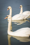 Beautiful swans on the river. Royalty Free Stock Photo