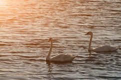 Beautiful swans swim on the lake during sunset, free space. Two royalty free stock image