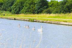 Beautiful swans in water, Milton Keynes Royalty Free Stock Images