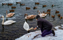 Beautiful swans and wild ducks on the river Stock Photos