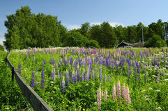 Beautiful Swedish view. Swedish farm with lupine field Stock Images
