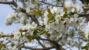 Sweet cherry tree blossom close up stock video footage
