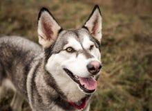 Grey and white husky dog winking stock photos