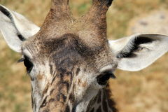 Beautiful, sweet face of giraffe Stock Photography