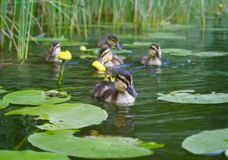 Little ducks. Beautiful sweet little ducks amongst waterlilies and reeds in a lake Royalty Free Stock Images