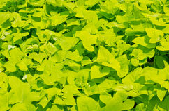 Sweet potato leaves. Stock Photos