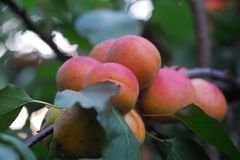 APRICOTS. BEAUTIFUL and sweety apricots to tree Royalty Free Stock Photography