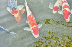 Beautiful swimming carps Stock Image