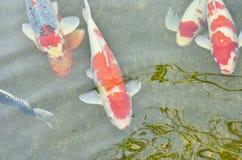 Beautiful swimming carps Stock Image