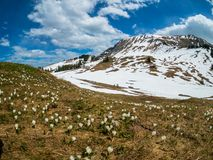 Beautiful Switzerland mountains landscape with blooming crocus flowers royalty free stock photos