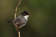 Beautiful Sylvia melanocephala warbler. Perched on a branch with green background Stock Images