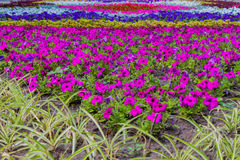 Beautiful symmetrical pattern of flowers. Flower bed with flowers of different colors in the city park Royalty Free Stock Photography