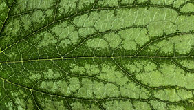 Beautiful symmetry. And leaf brunnera royalty free stock photos
