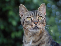 Beautiful tabby cat. Portrait of a tabby cat royalty free stock image