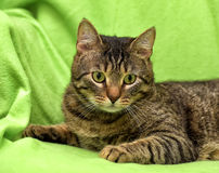 Beautiful tabby cat Royalty Free Stock Image