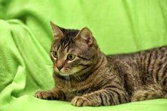 Beautiful tabby cat Stock Images