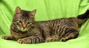 Beautiful tabby cat Stock Photo