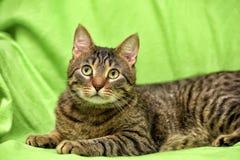 Beautiful tabby cat Stock Image