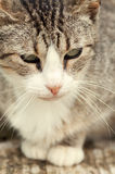 Beautiful tabby cat Royalty Free Stock Photography