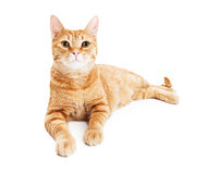 Beautiful Tabby Cat Laying Over White Stock Image