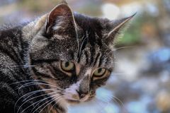 Beautiful tabby cat. Portrait of a female tabby cat with beautiful colouring looking down Royalty Free Stock Photography