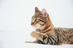 Beautiful tabby cat posing for the camera. Licking it& x27;s nose and fur and makes funny faces, cute, young, feline, pet, domestic, animal, kitty, portrait stock photography