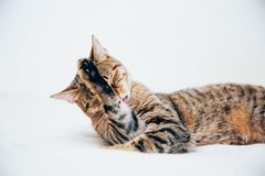 Beautiful tabby cat posing for the camera. Licking it& x27;s nose and fur and makes funny faces, cute, young, feline, pet, domestic, animal, kitty, portrait stock image