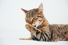 Beautiful tabby cat posing for the camera. Licking it& x27;s nose and fur and makes funny faces, cute, young, feline, pet, domestic, animal, kitty, portrait stock photos