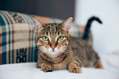 Beautiful tabby cat posing for the camera. Licking it& x27;s nose and fur and makes funny faces, cute, young, feline, pet, domestic, animal, kitty, portrait royalty free stock photo