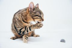 Beautiful tabby cat posing for the camera. Licking it& x27;s nose and fur and makes funny faces, cute, young, feline, pet, domestic, animal, kitty, portrait royalty free stock images