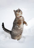 Beautiful tabby cat  in snow Stock Photo