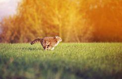 Beautiful cat swiftly and deftly runs on a green summer meadow graceful arching his back and tail. Beautiful tabby cat swiftly and deftly runs on a green summer stock photo