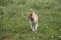 Beautiful tabby cat walking alone in the meadow Stock Photo