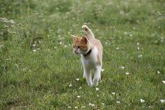 Beautiful tabby cat walking alone in the meadow Stock Photo