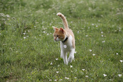 Beautiful tabby cat walking alone in the meadow Stock Image