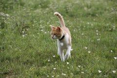 Beautiful tabby cat walking alone in the meadow Stock Image