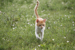 Beautiful tabby cat walking alone in the meadow Royalty Free Stock Photography