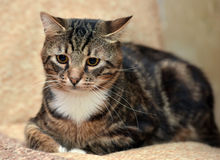 Beautiful tabby  cat Royalty Free Stock Photos