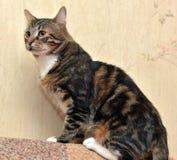 Beautiful tabby  cat Royalty Free Stock Photos