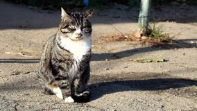 Beautiful tabby cat with a white collar catches the sounds of the street. A beautiful tabby cat with a white collar catches the sounds of the street stock video footage