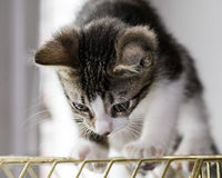 A beautiful tabby kitten playing on a bird cage Stock Photo